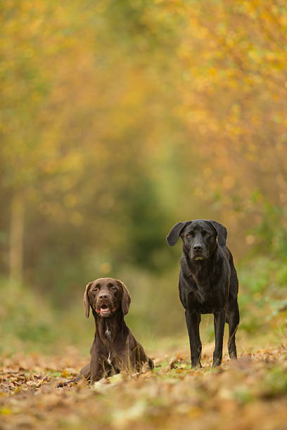 Black and brown labradors in woodland scene