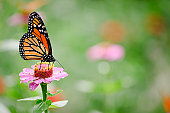 Monarch butterfly (Danaus plexippus) feeding on a pink  zinnia flower in a garden with plenty of out of focus area for copy.