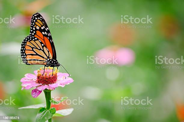 Black and brown monarch butterfly on a pink zinnia flower picture id136185474?b=1&k=6&m=136185474&s=612x612&h=0xvxjennhkxmr1h5mwkk1 j6srjyfhzqevlgm cvreq=