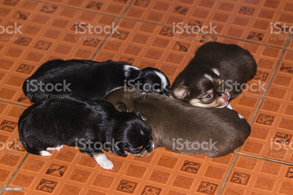 Black and brown Puppy chiwawa royalty-free stock photo