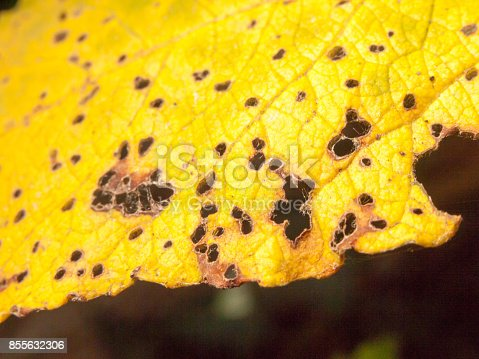 istock black and brown spotted yellow autumn leaf close up 855632306