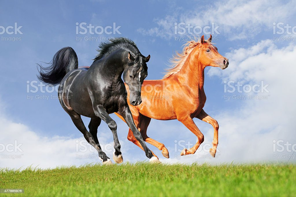 black and chestnut horse runs free in field stock photo