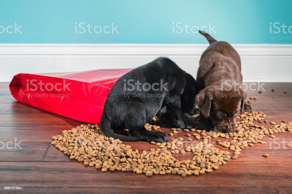 A Black and Chocolate Labrador puppies raiding a spilled bag of dog food - 5 weeks old stock photo