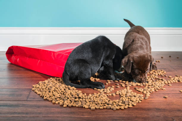 A Black and Chocolate Labrador puppies raiding a spilled bag of dog food - 5 weeks old Two cute adorable 5 week old Labrador Retriever puppies, one Black and one Chocolate eating from a spilled red paper bag of dog food that spilled on the floor. There is kibble scattered on the hardwood floor with a white baseboard and green wall in the background feeding frenzy stock pictures, royalty-free photos & images