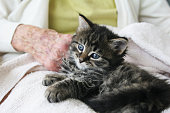 istock A black and gray kitten in the lap of a senior citizen 145161635