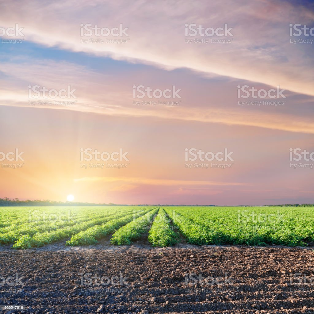 black and green agriculture fields with tomatoes and purple sunset in dramatic sky stock photo