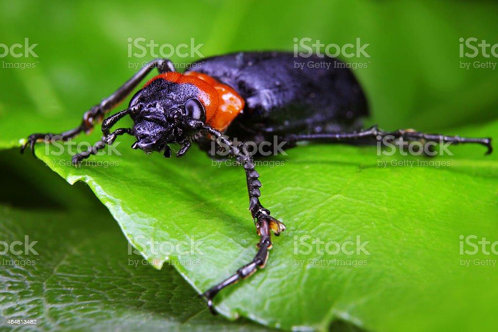 Fotografía de Escarabajo Negro Y Naranja y más banco de imágenes de ...