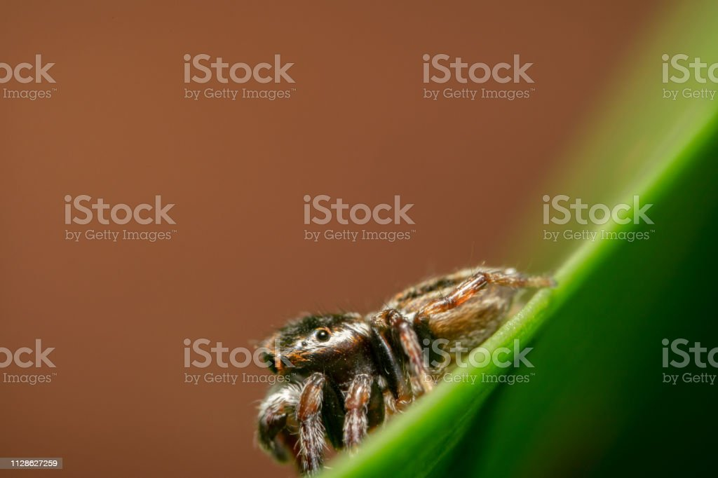 Black and orange jumping spider sitting on a green leaf with orange...