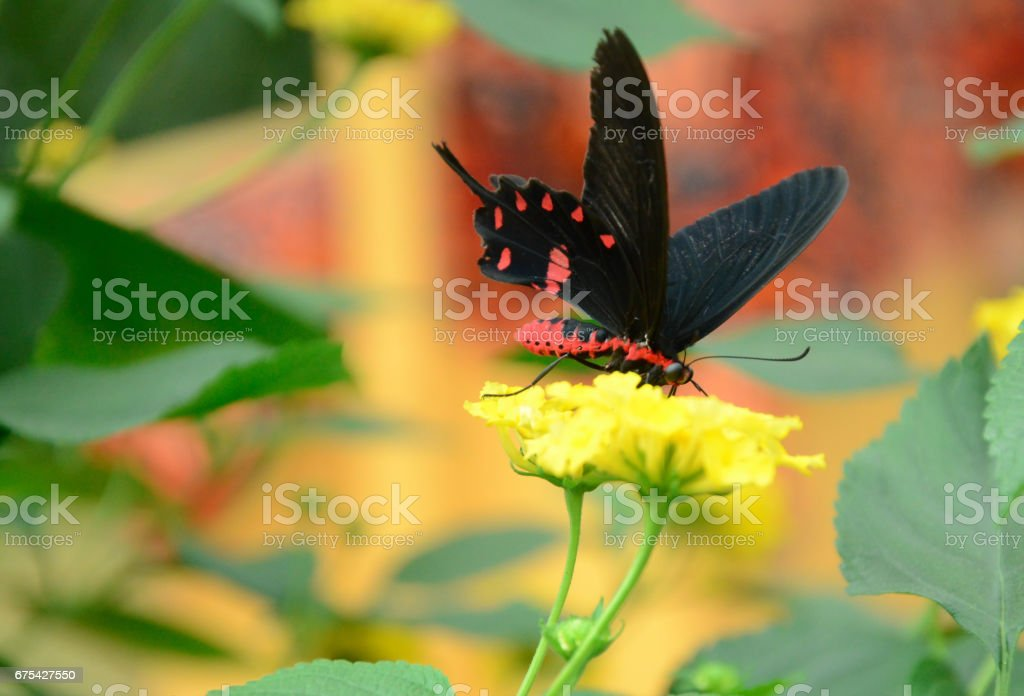 Black and red butterfly royalty-free stock photo