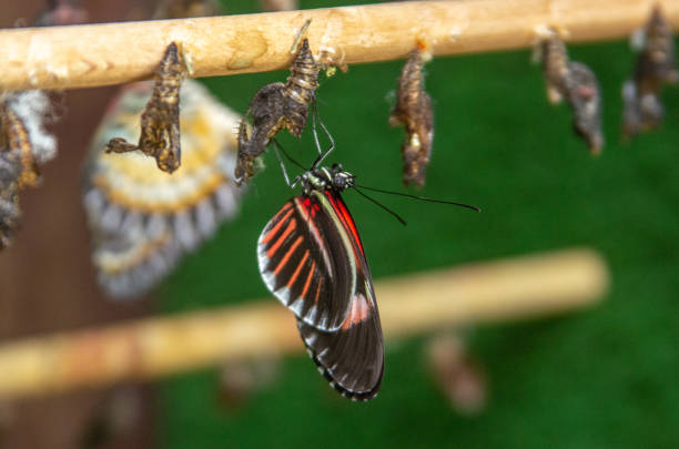 black and red buttlerfly emerging from chrysalis - farfalla ramo foto e immagini stock