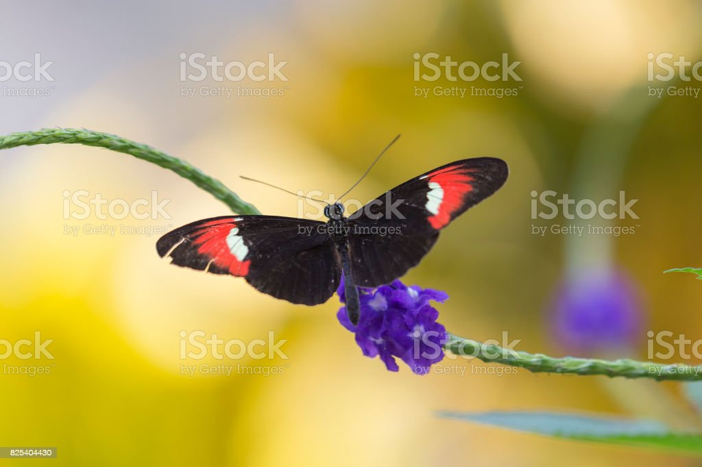 Black and Red Postman Butterfly stock photo