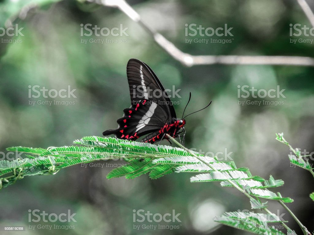 Black and Red Swallotwail Butterfly stock photo