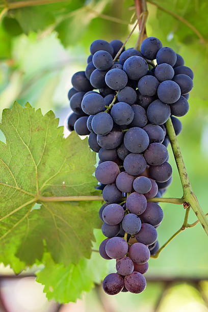 Black and ripe grapes stock photo