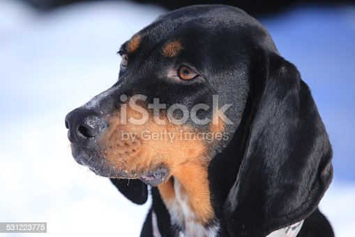 Black and Tan Coon Hound Dog Portrait
