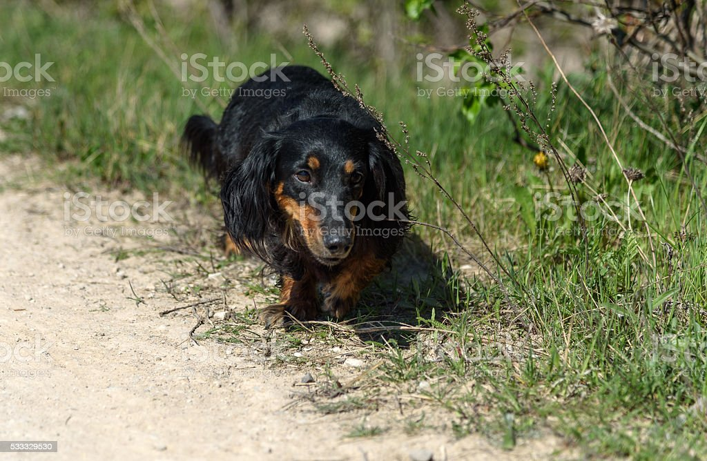 Black and tan dachshund dog on background of green grass stock photo