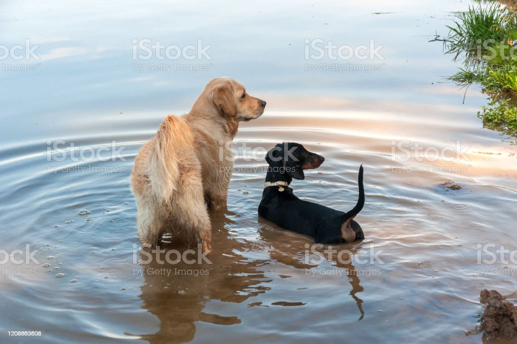 Black And Tan Dachshund Puppy And Golden Retriever In Lake Stock Photo Download Image Now Istock