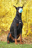 Black and tan Doberman dog with cropped ears posing outdoors sitting on a green grass near yellow blooming bushes in spring wearing a medical face mask. Covid-19 theme