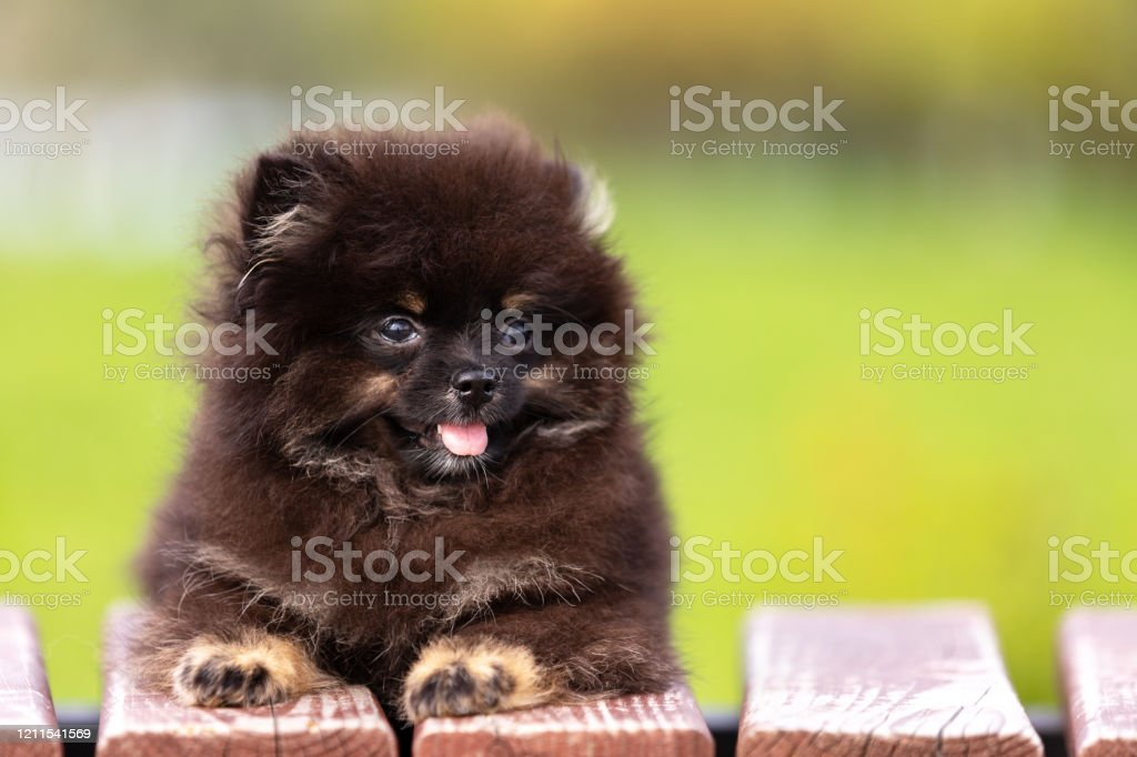 Black And Tan Pomeranian Puppy Walks Outdoor Stock Photo Download Image Now Istock