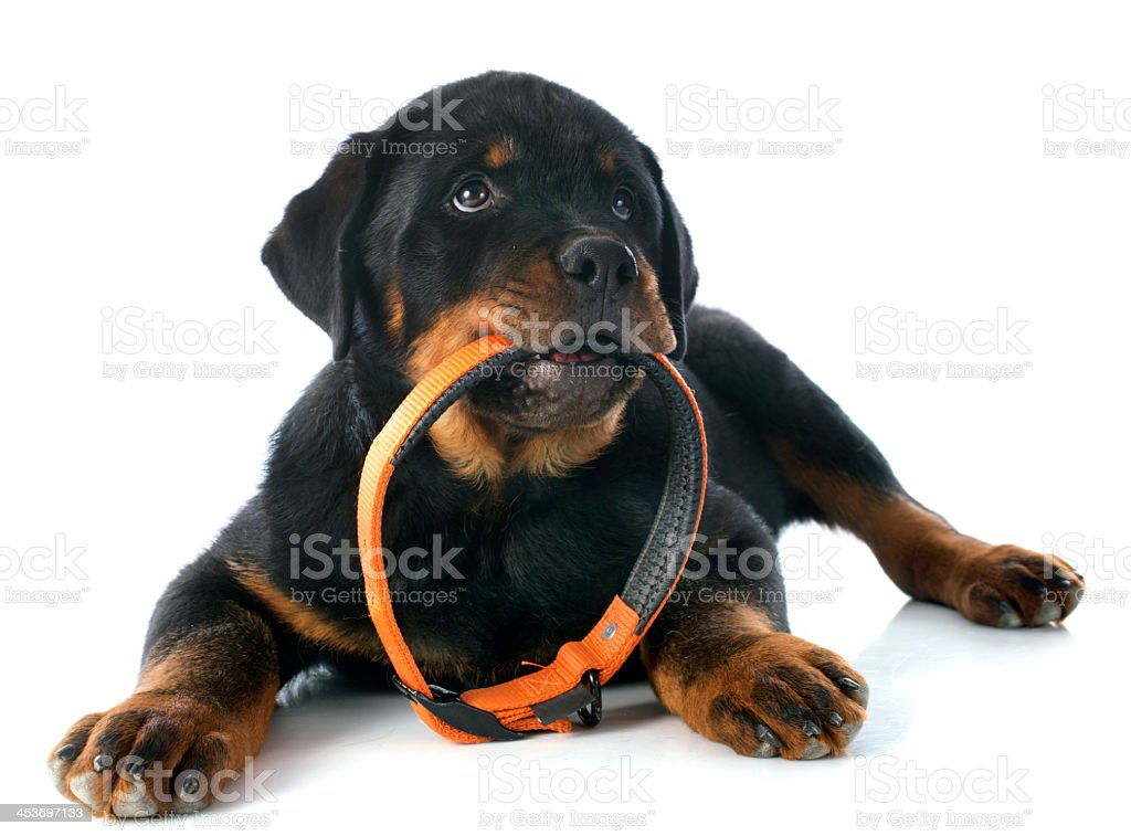 Black and tan Rottweiler puppy holding collar in its mouth stock photo