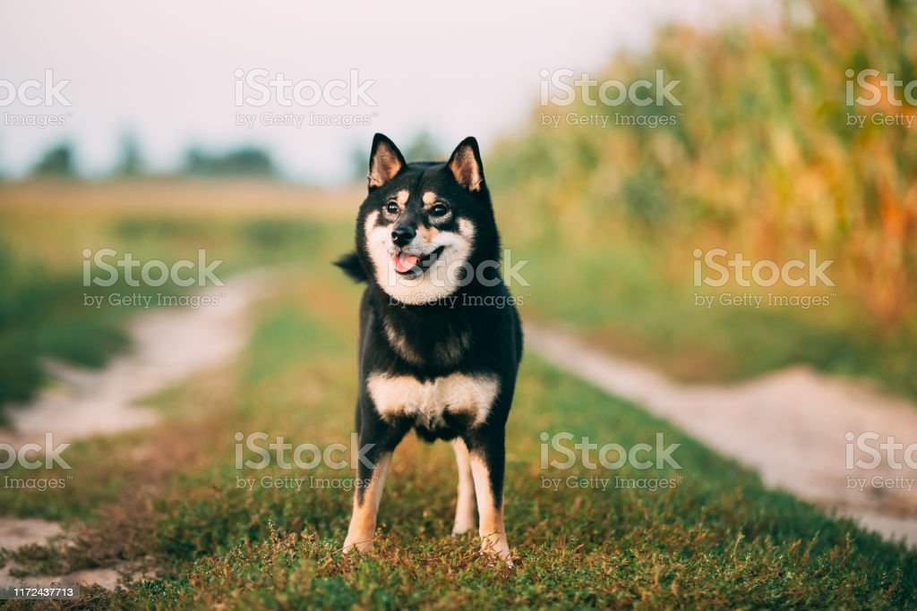 Black And Tan Shiba Inu Dog Outdoor In Countryside Road Stock Photo Download Image Now Istock