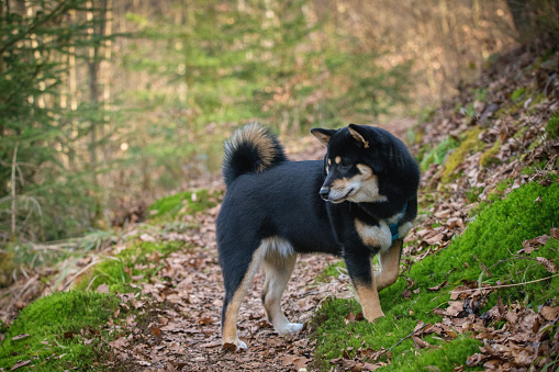 Beautiful 6 month old black and tan Shiba Inu hiking through the forest