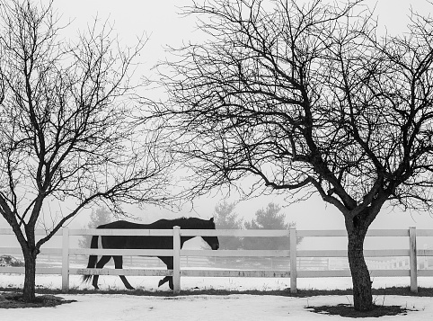 Black and white, a horse along a white fence with leafless trees.