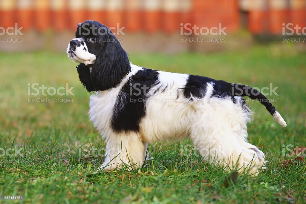 Black and white American Cocker Spaniel dog staying outdoors stock photo