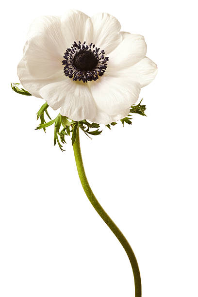 Royalty free anemone flower pictures images and stock photos istock black and white anemone isolated stock photo mightylinksfo