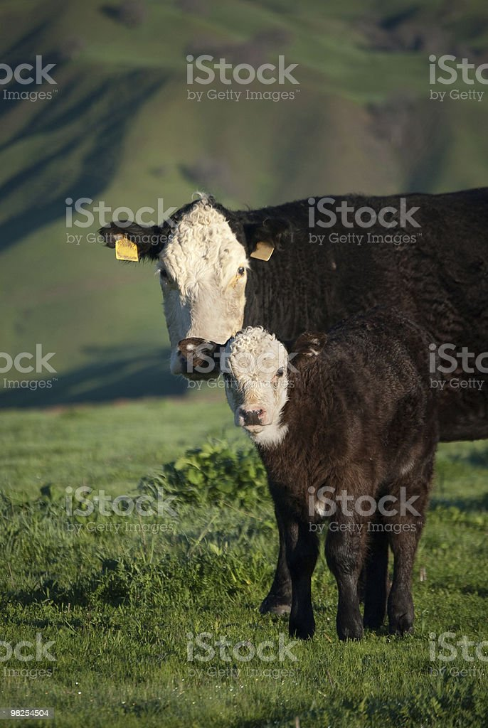 black and white angus cow with calf royalty-free stock photo