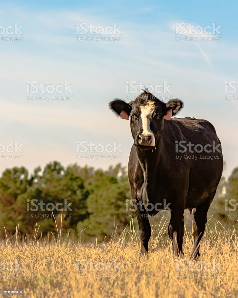 Black and white Angus crossbred - vertical stock photo