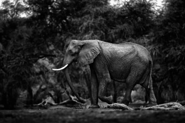 Black and white art view in nature. Elephant at Mana Pools NP, Zimbabwe in Africa. Big animal in the old forest. Magic wildlife scene in nature. African elephant in beautiful habitat. stock photo