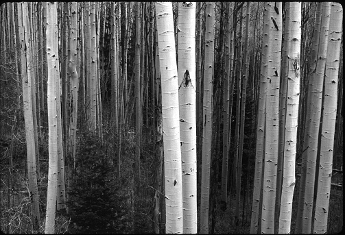 Black and White Aspen Tree Forest Tranquil scene with Birch trees