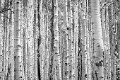 Black and white aspen trees make a natural background texture pattern in Colorado forest