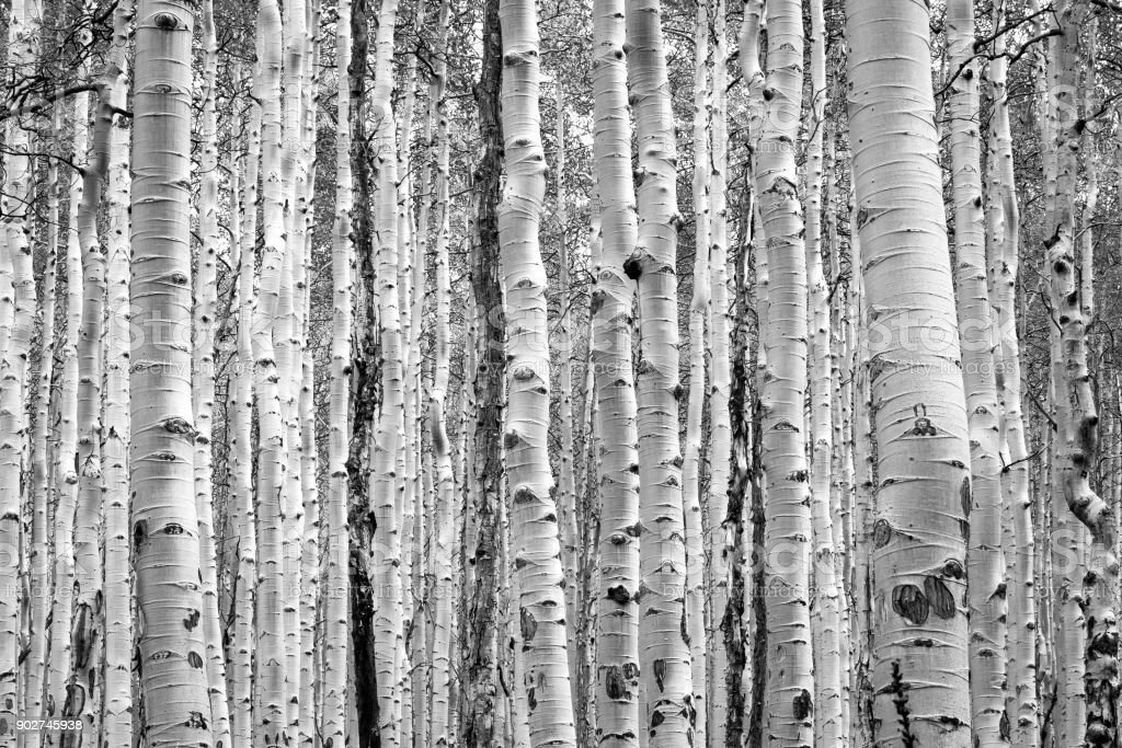 Black and white aspen trees make a natural background texture pattern in Colorado forest stock photo