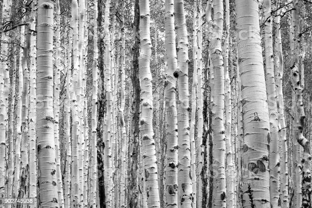 Photo of Black and white aspen trees make a natural background texture pattern in Colorado forest