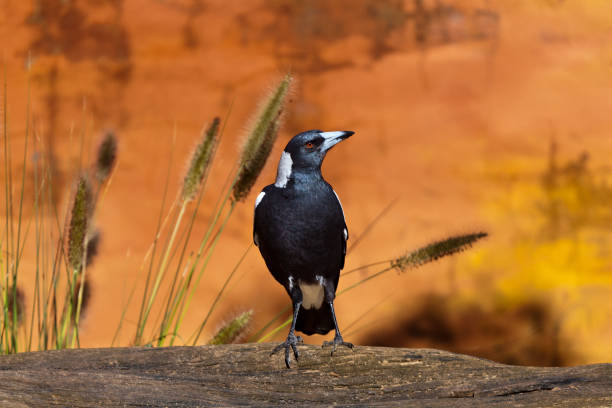 Black and White Australian Magpie sitting on a log with grasses and amber background stock photo