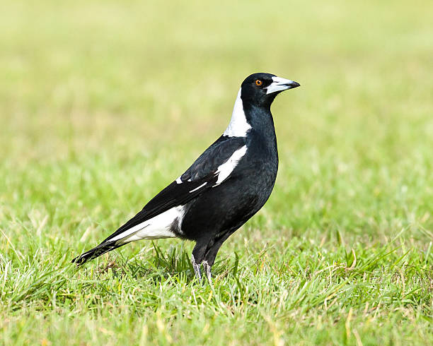 Black and White Australian Magpie Standing Upright on Green Grass stock photo