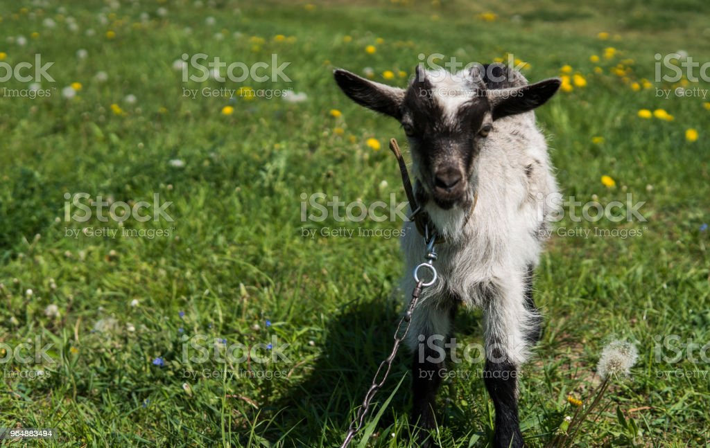 Black and white baby goat on a chain against grass and flowers on a background. White ridiculous kid is grazed on a farm, on a green grass. Animal. Agriculture. Pasture. royalty-free stock photo
