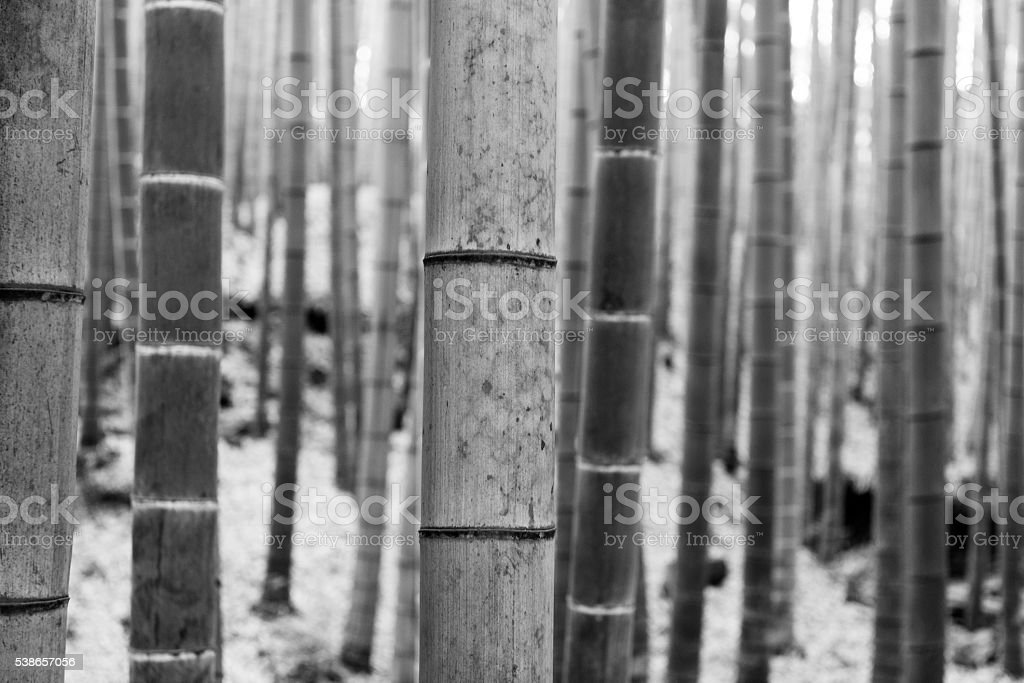 Black and White Bamboo Tree Trunks in Arashiyama Kyoto Japan stock photo