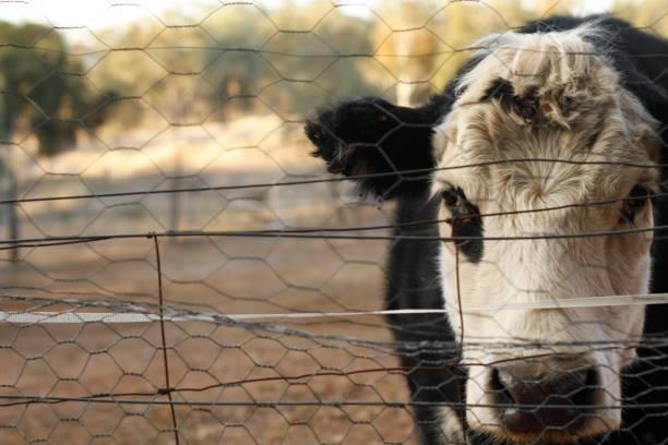 siyah ve beyaz bawldy inek bir çit ile new south wales, kırsal avustralya kuraklık nedeniyle yemek için hiçbir ot bakarak bir bahçede - boğa hayvan stok fotoğraflar ve resimler
