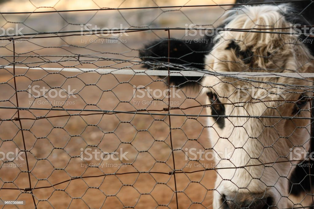 Black and White Bawldy cow in a yard looking through a fence with no grass to eat because of drought in New South Wales, Rural Australia zbiór zdjęć royalty-free