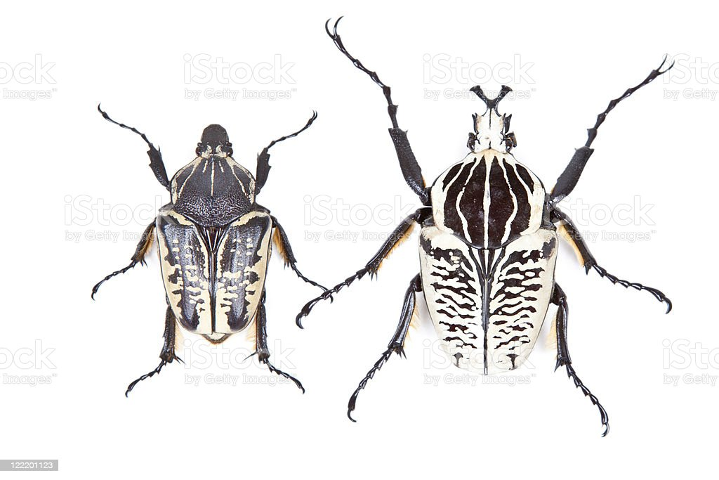 Black and white beetle Goliathus albosignathus isolated stock photo
