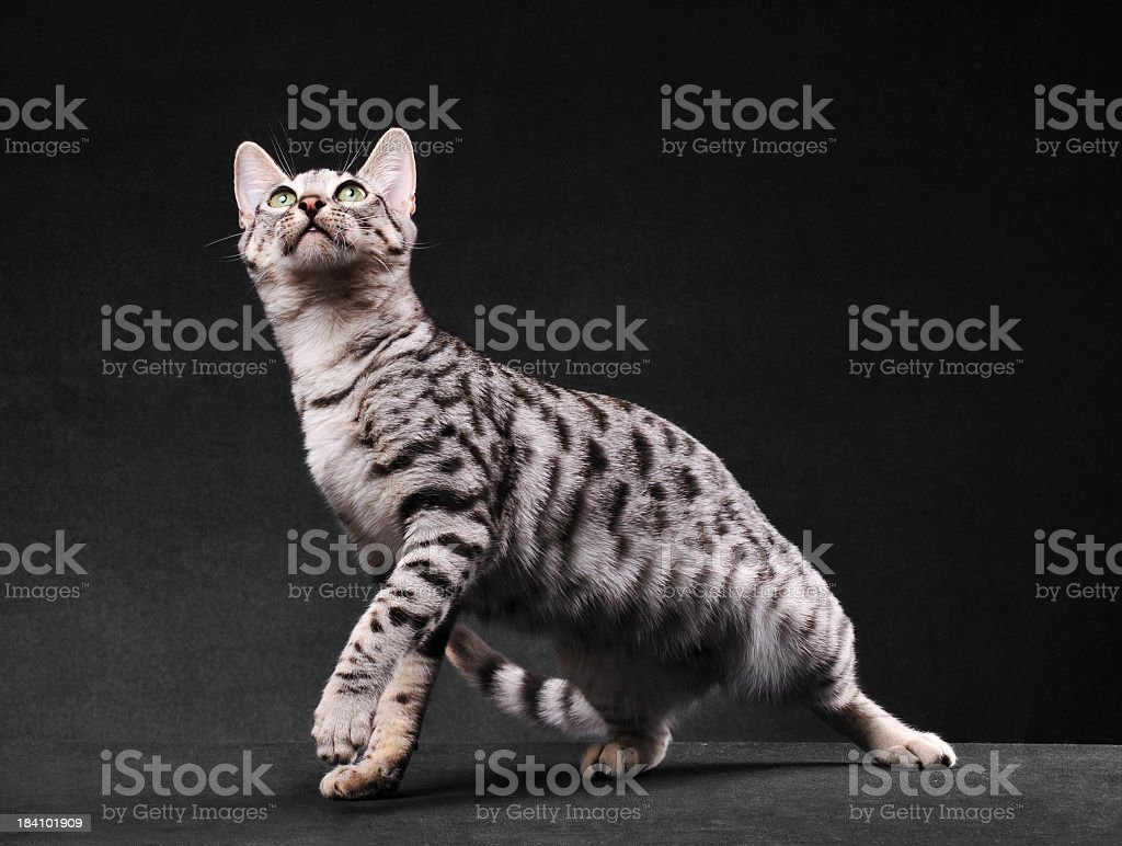 Black and white bengal cat in motion stock photo