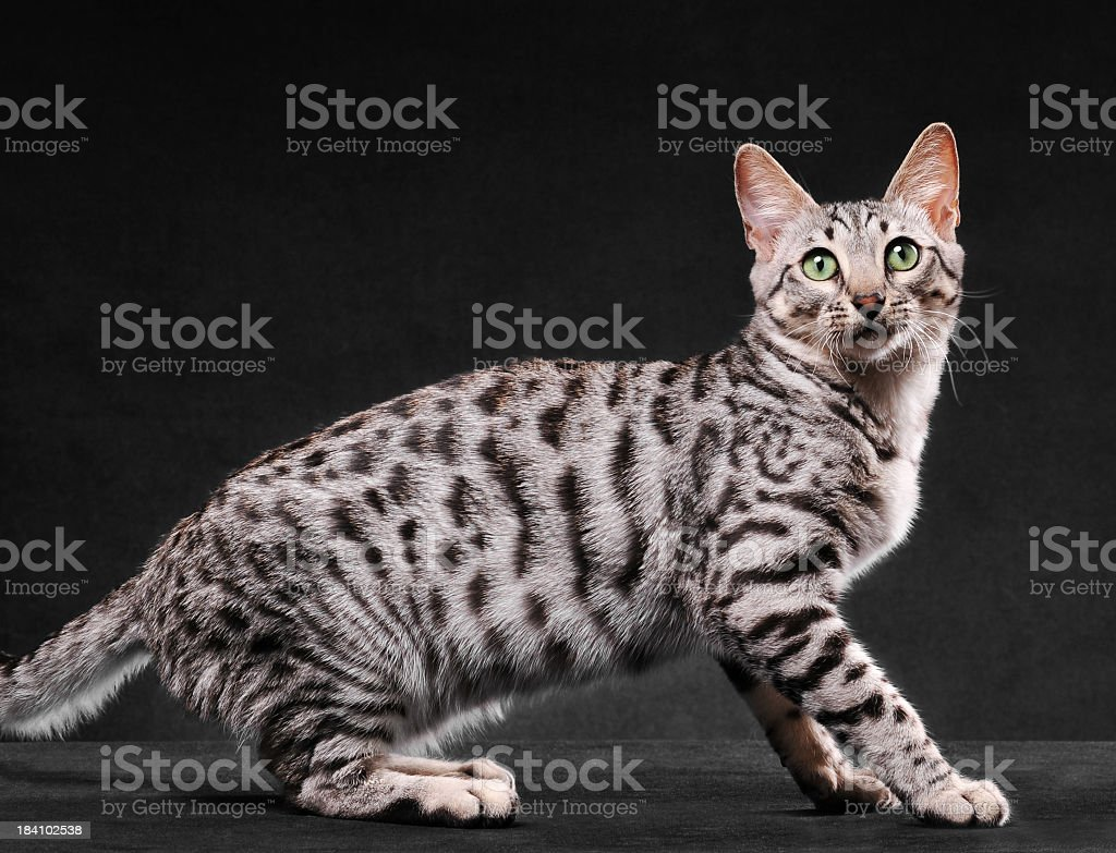 Black and white bengal cat looking at camera royalty-free stock photo