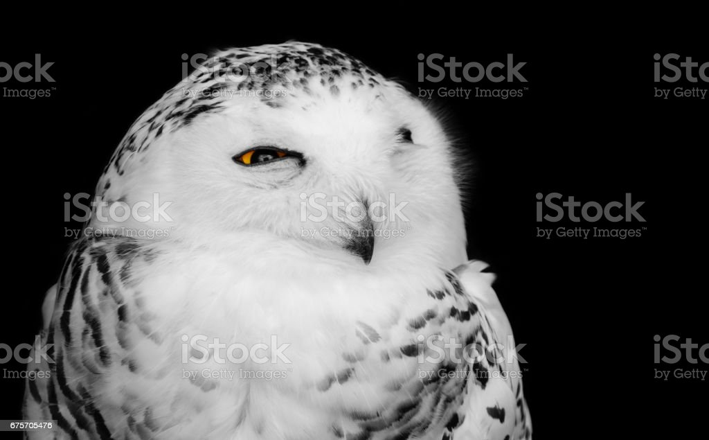 Black and white bird of prey portrait of a wild snowy owl with one yellow eye open, isolated on a dark background 免版稅 stock photo