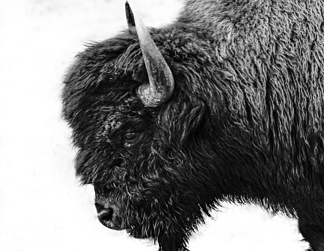 A male bison in Alberta's Elk Island National Park