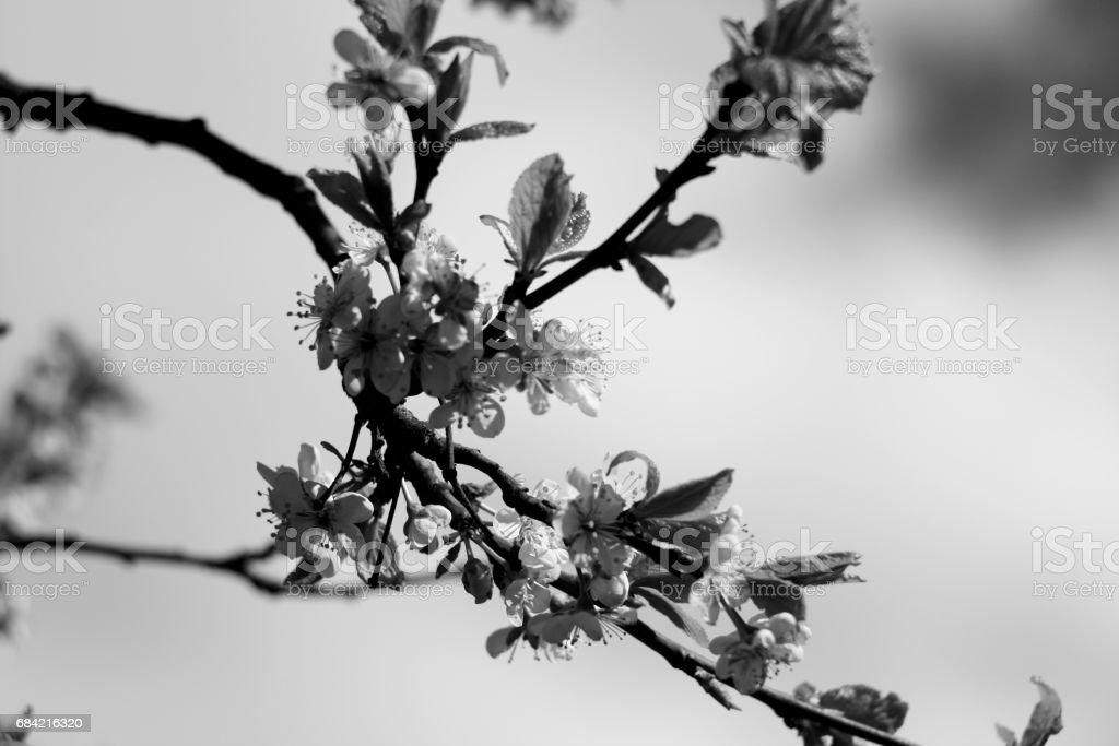 Black and white blooming tree branch royalty-free stock photo