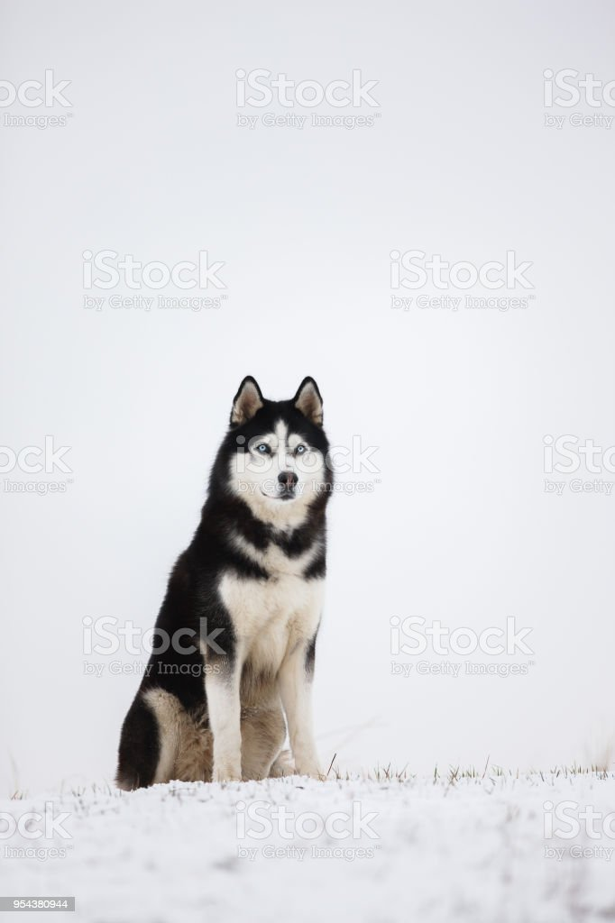 Black And White Blueeyed Siberian Husky Sit In The Snow Portrait Of