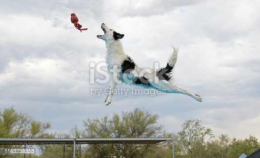 Border collie dock diving and catching a toy in the air