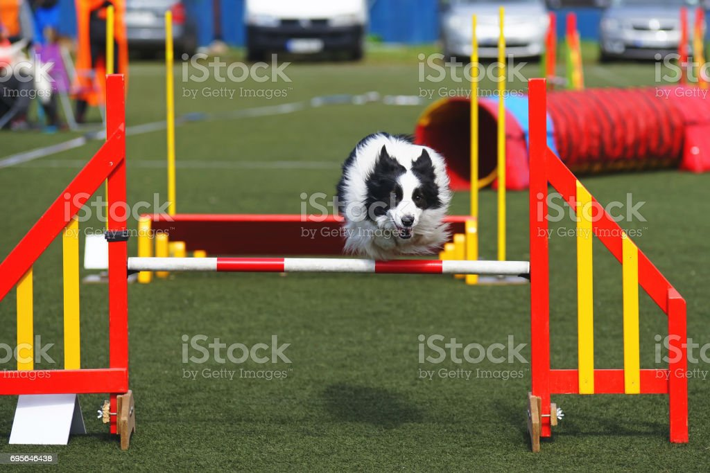 Black and white Border Collie dog jumping over a hurdle during agility competition stock photo